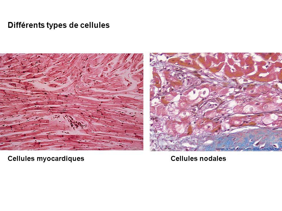 Différents types de cellules