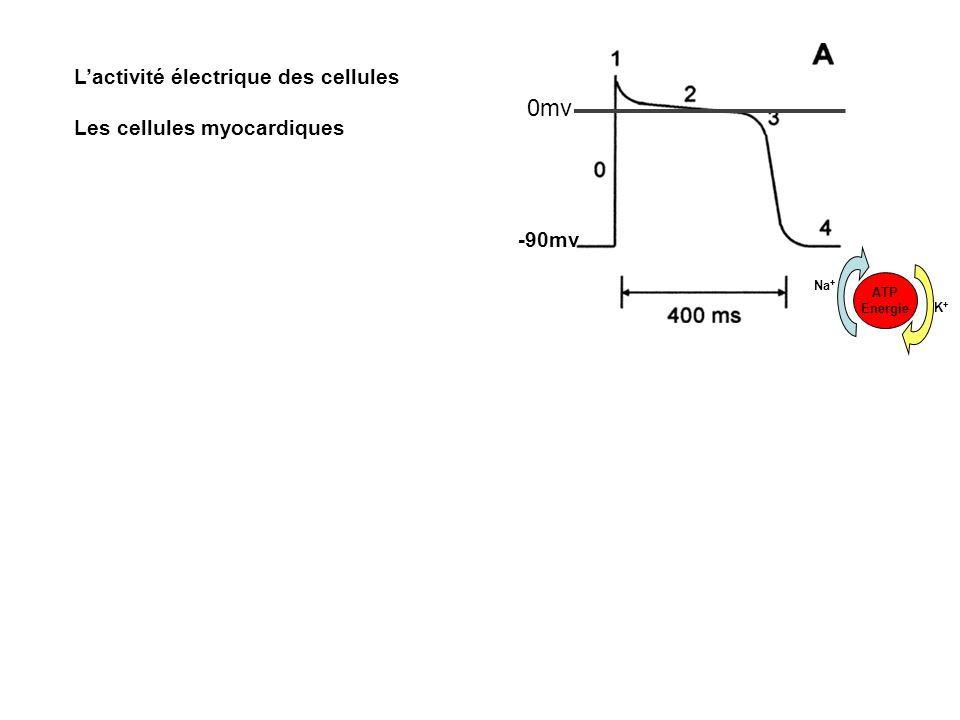0mv L'activité électrique des cellules Les cellules myocardiques -90mv