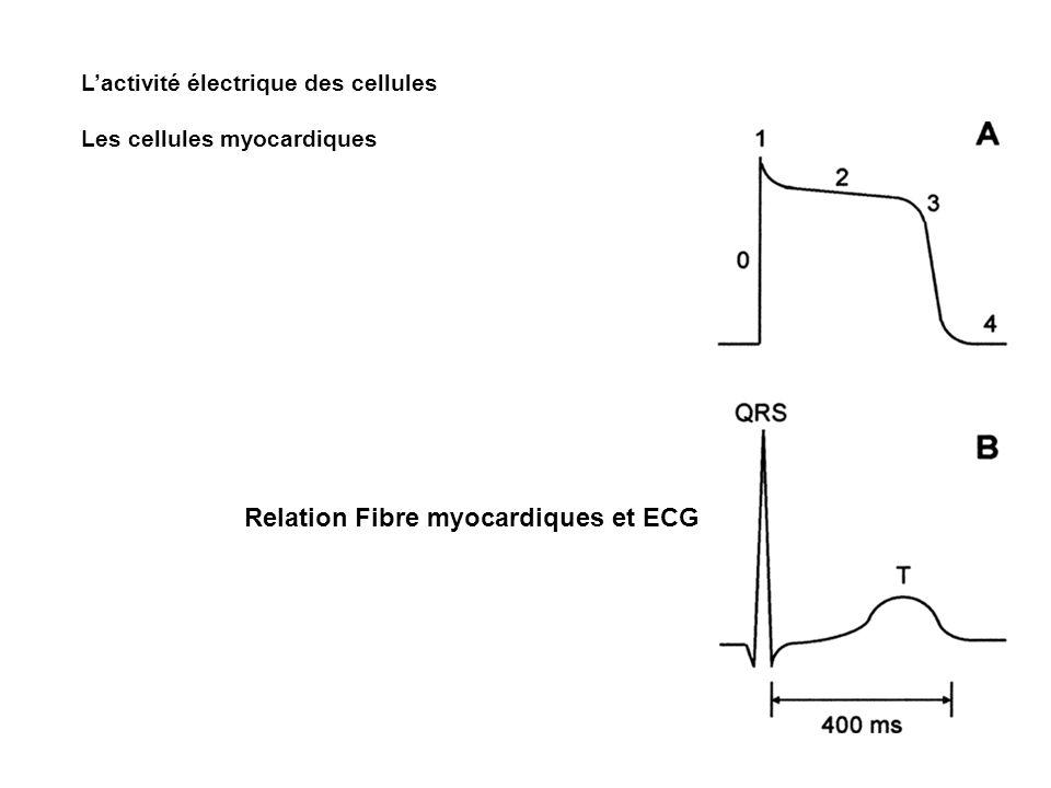 Relation Fibre myocardiques et ECG