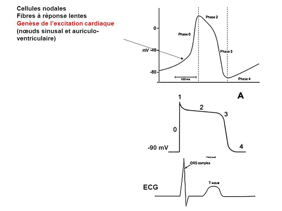 ECG Cellules nodales Fibres à réponse lentes