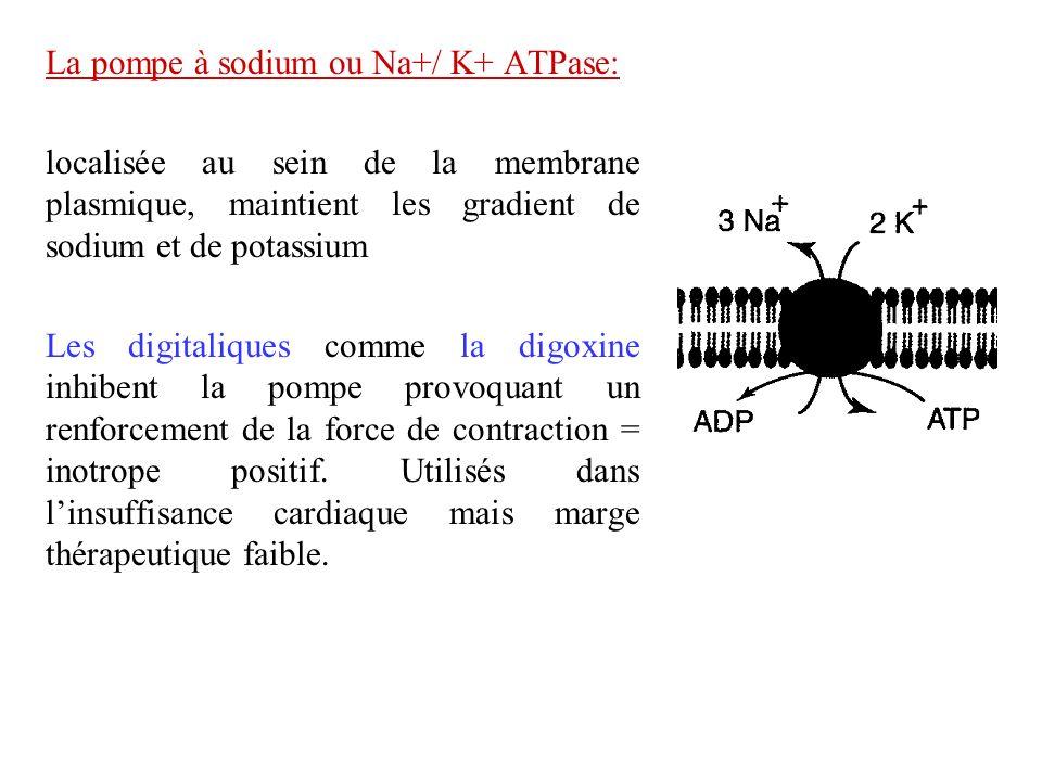 La pompe à sodium ou Na+/ K+ ATPase: