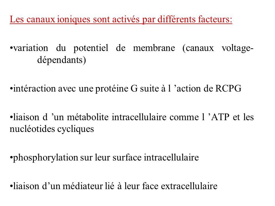 Les canaux ioniques sont activés par différents facteurs: