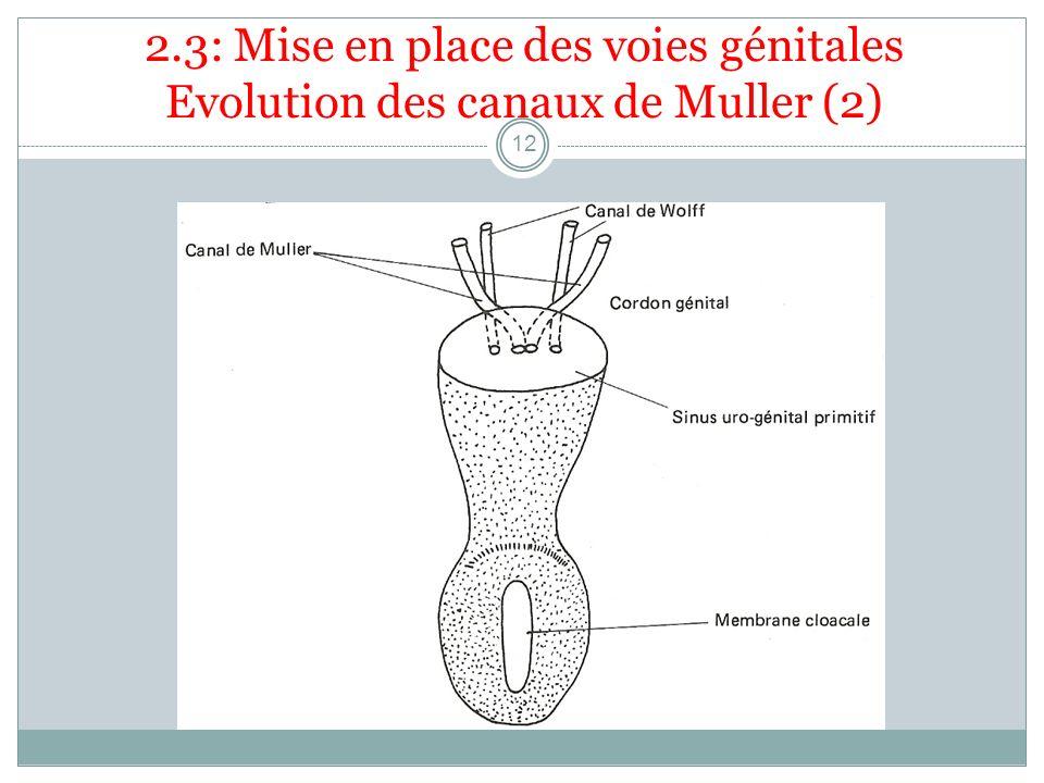 2.3: Mise en place des voies génitales Evolution des canaux de Muller (2)