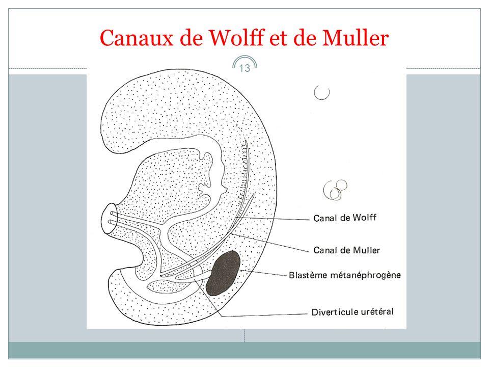 Canaux de Wolff et de Muller