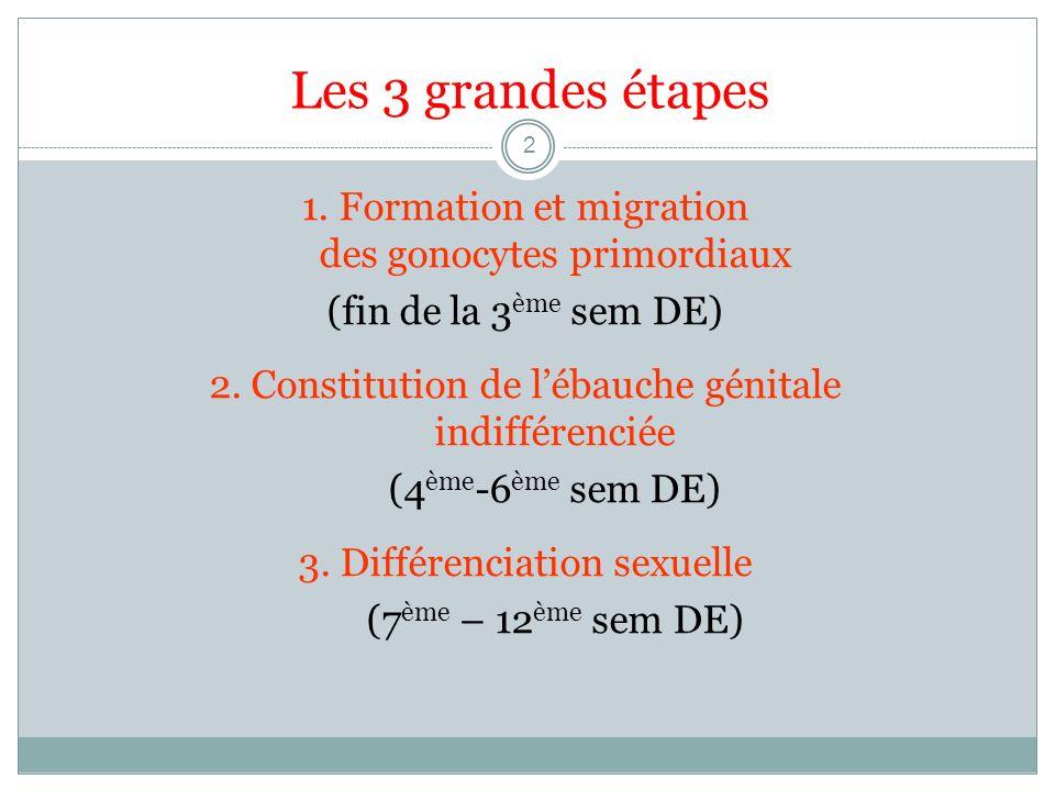 Les 3 grandes étapes 1. Formation et migration des gonocytes primordiaux.