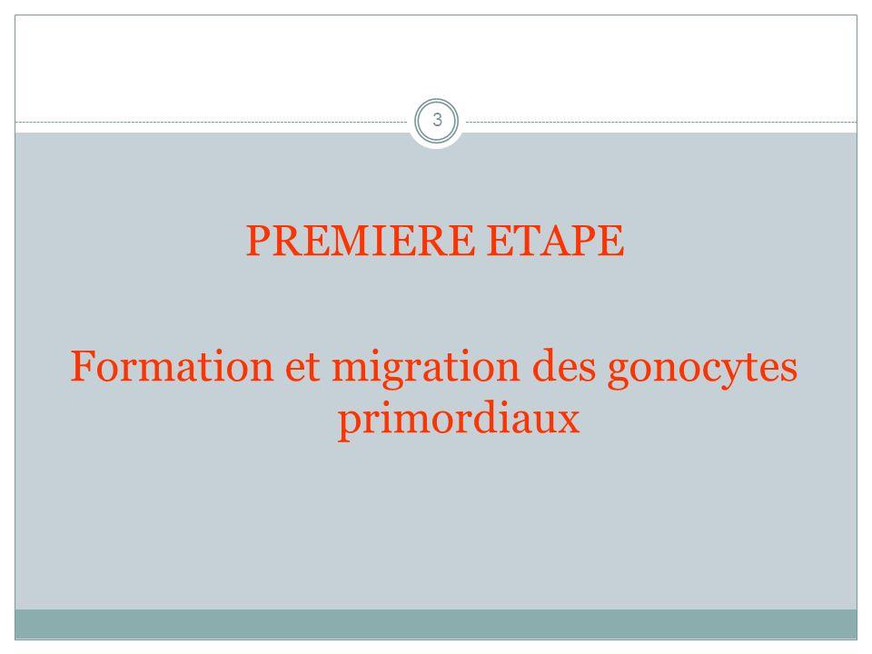 Formation et migration des gonocytes primordiaux