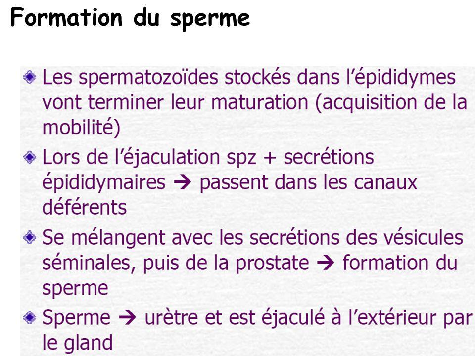 Formation du sperme