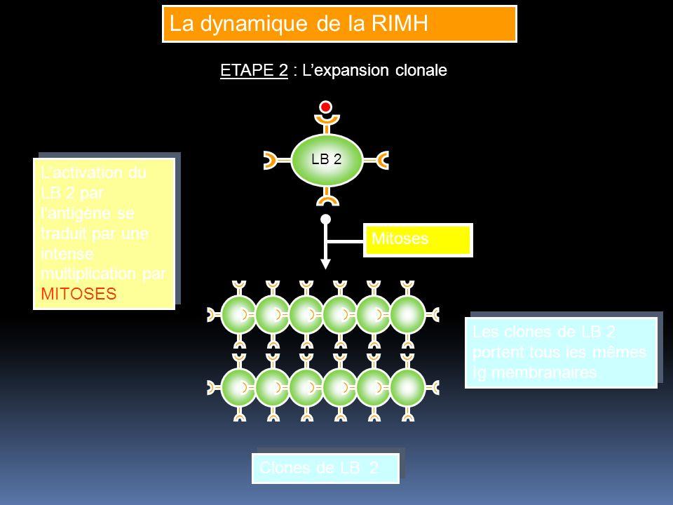 La dynamique de la RIMH ETAPE 2 : L'expansion clonale