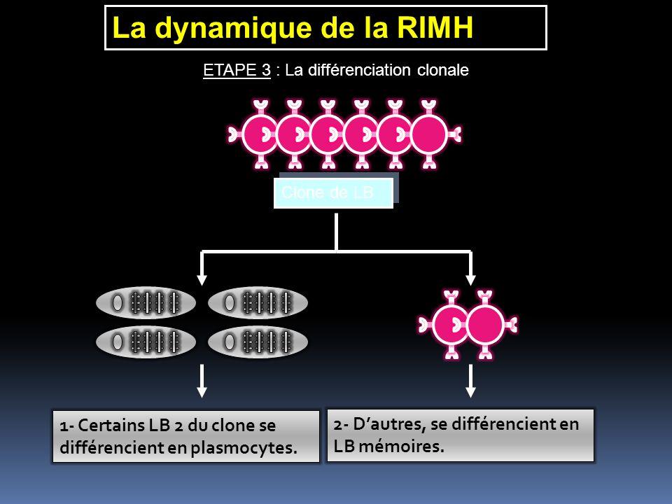La dynamique de la RIMH ETAPE 3 : La différenciation clonale. Clone de LB. 1- Certains LB 2 du clone se différencient en plasmocytes.