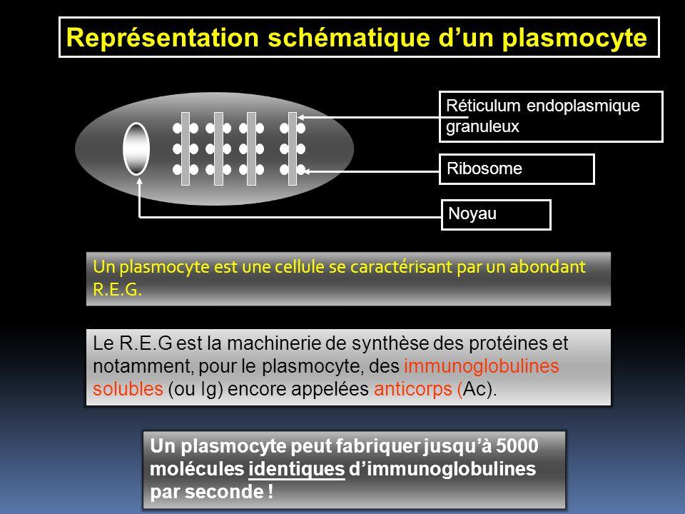 Représentation schématique d'un plasmocyte