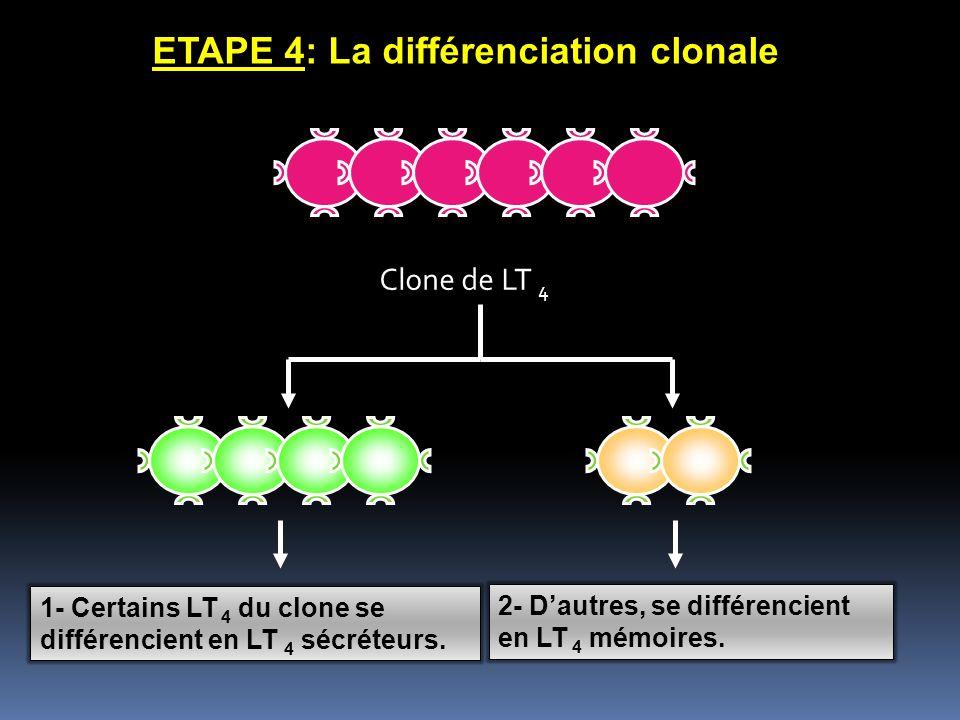 ETAPE 4: La différenciation clonale