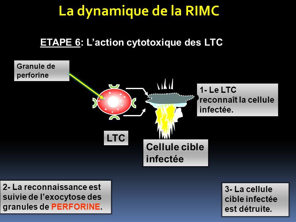 La dynamique de la RIMC ETAPE 6: L'action cytotoxique des LTC LTC