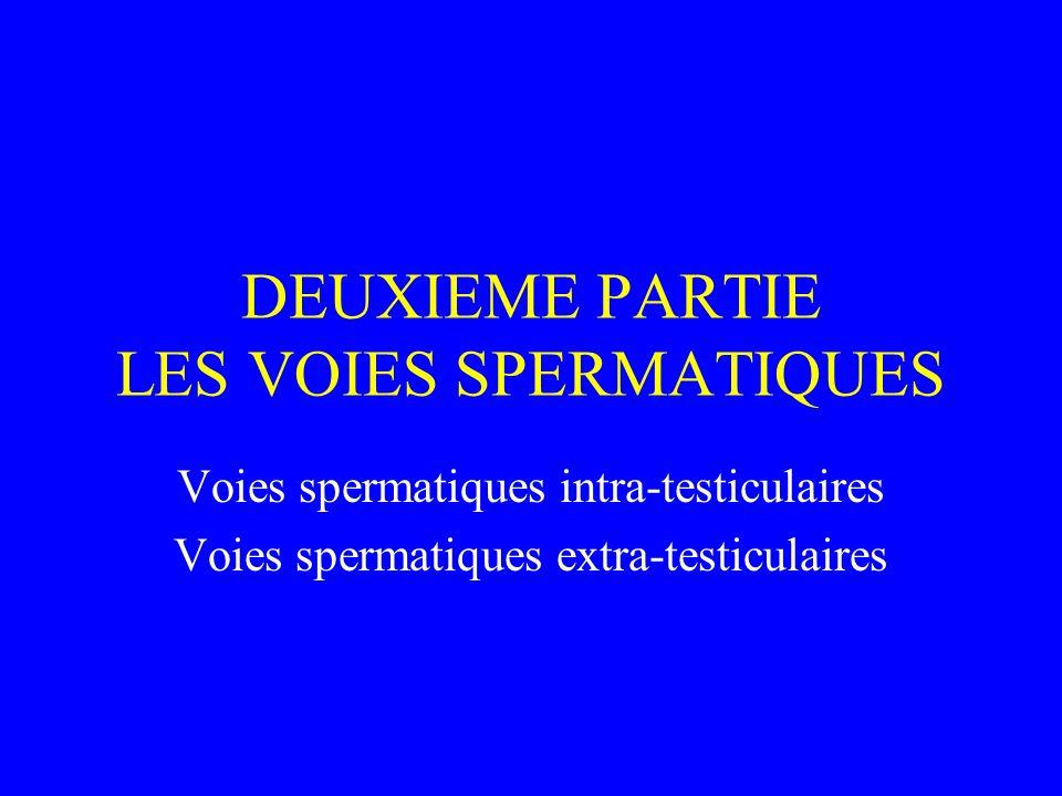 DEUXIEME PARTIE LES VOIES SPERMATIQUES