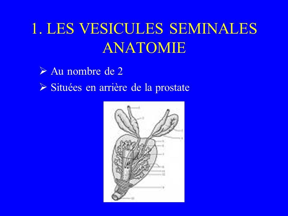 1. LES VESICULES SEMINALES ANATOMIE