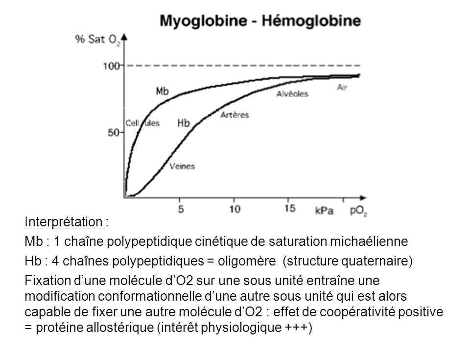 Interprétation :Mb : 1 chaîne polypeptidique cinétique de saturation michaélienne.
