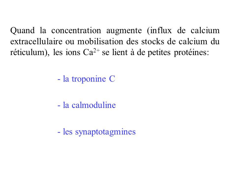 Quand la concentration augmente (influx de calcium extracellulaire ou mobilisation des stocks de calcium du réticulum), les ions Ca2+ se lient à de petites protéines: