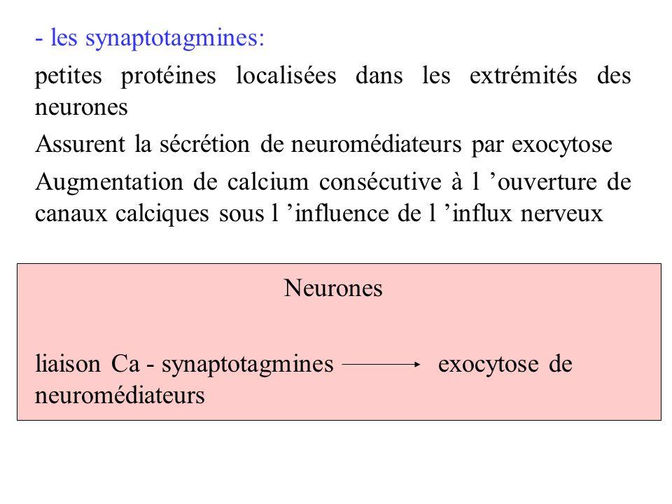 - les synaptotagmines: