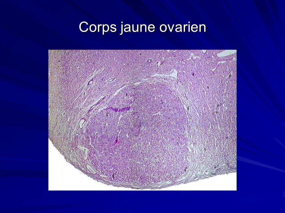 Corps jaune ovarien
