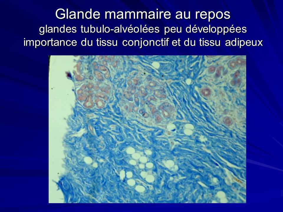 Glande mammaire au repos glandes tubulo-alvéolées peu développées importance du tissu conjonctif et du tissu adipeux