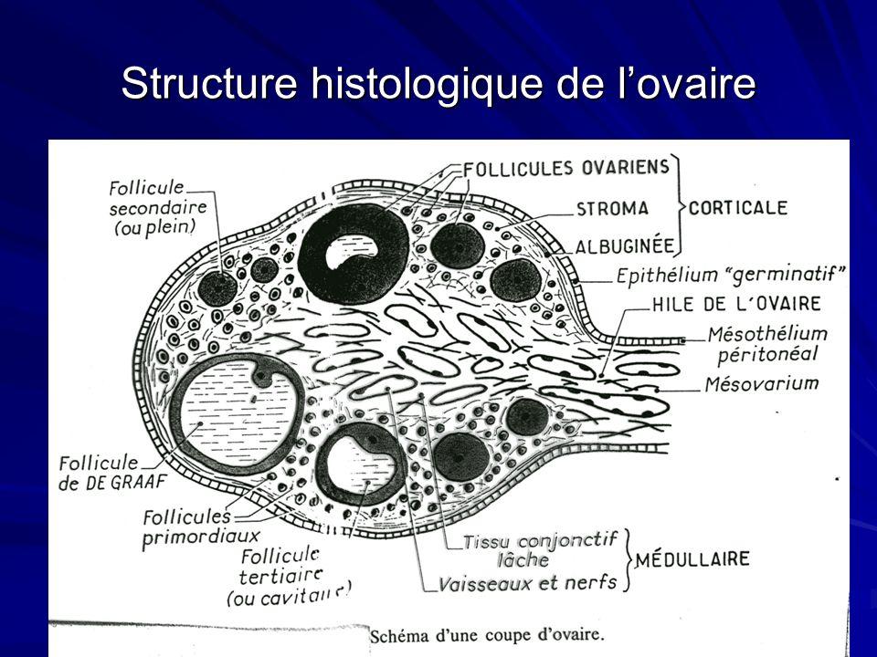 Structure histologique de l'ovaire