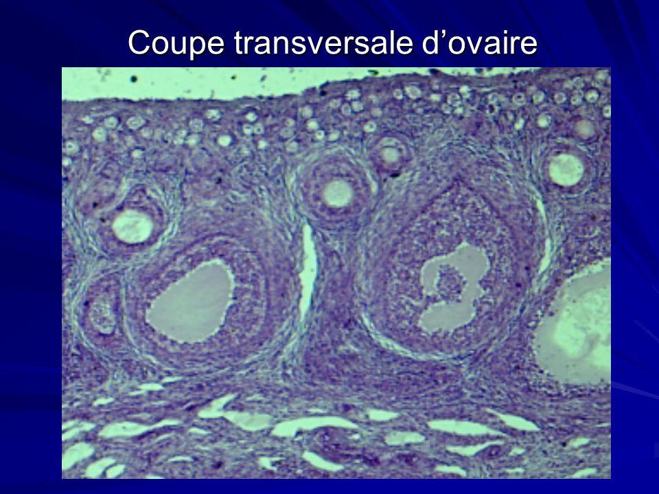Coupe transversale d'ovaire