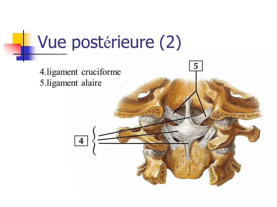Vue postérieure (2) 4.ligament cruciforme 5.ligament alaire