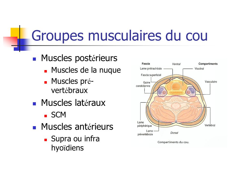 Groupes musculaires du cou