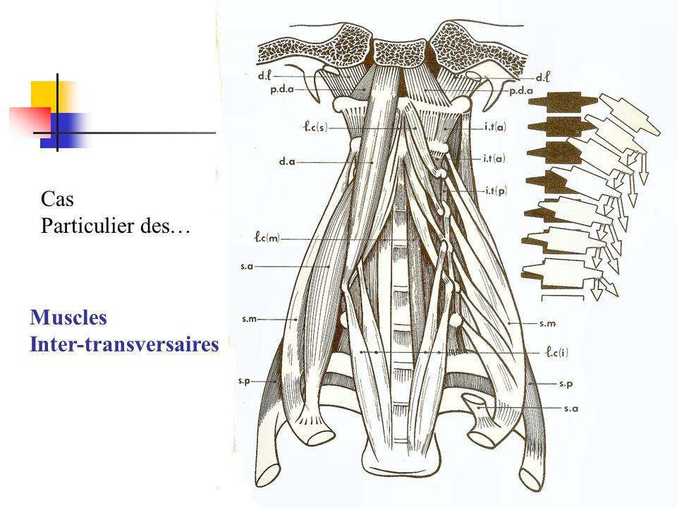 Cas Particulier des… Muscles Inter-transversaires