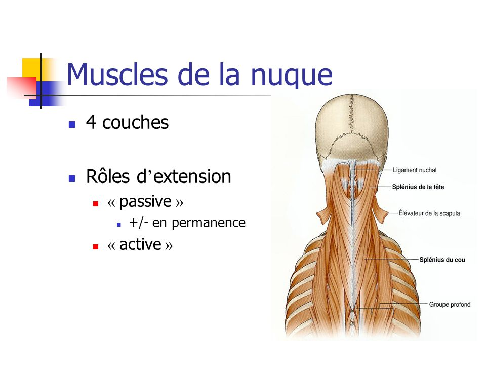 Muscles de la nuque 4 couches Rôles d'extension « passive » « active »