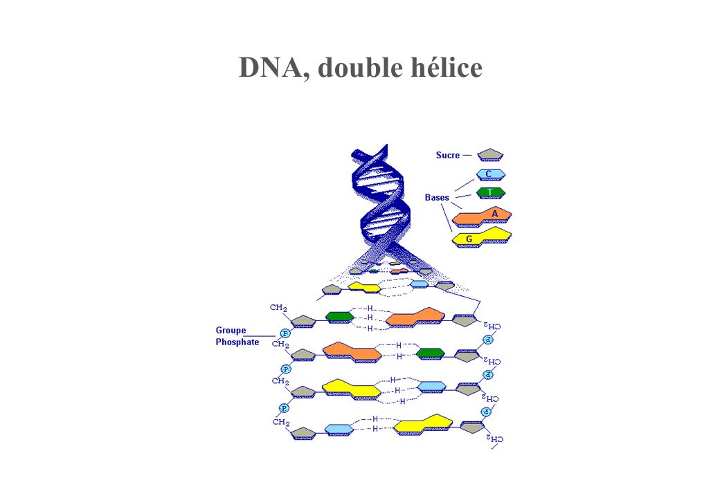 DNA, double hélice