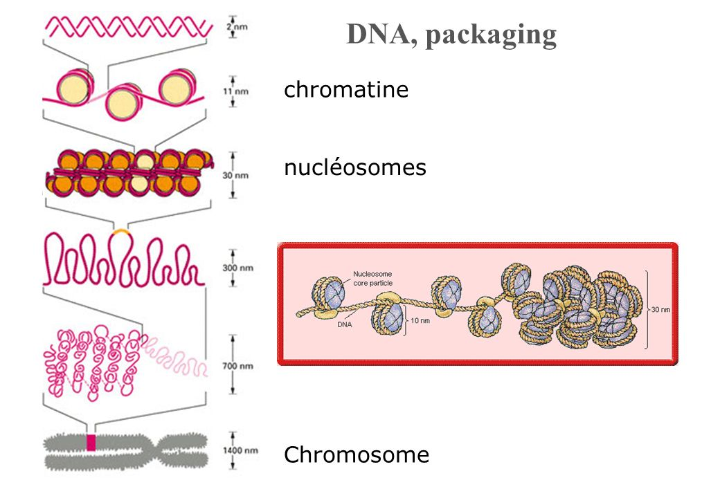DNA, packaging nucléosomes Chromosome chromatine