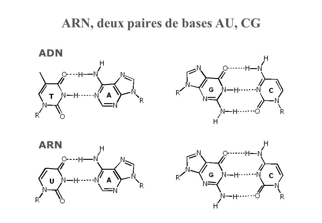 ARN, deux paires de bases AU, CG
