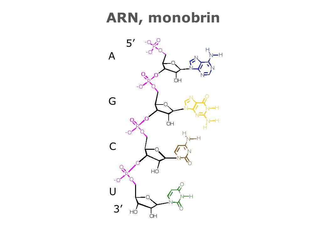 ARN, monobrin 3' 5' U C G A