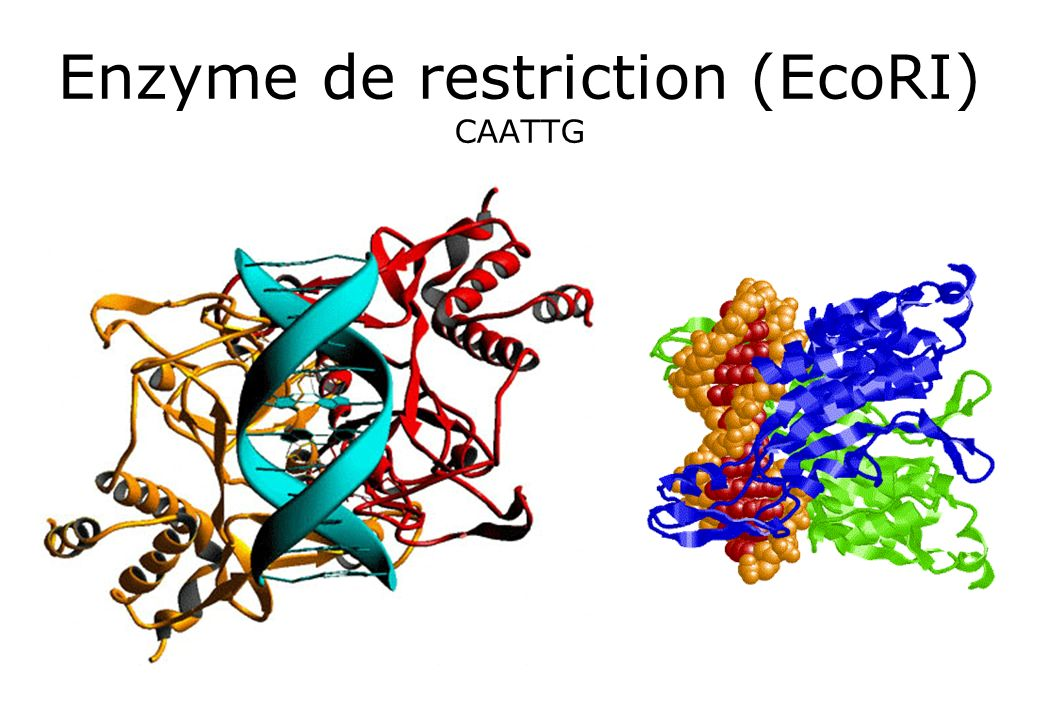 Enzyme de restriction (EcoRI) CAATTG