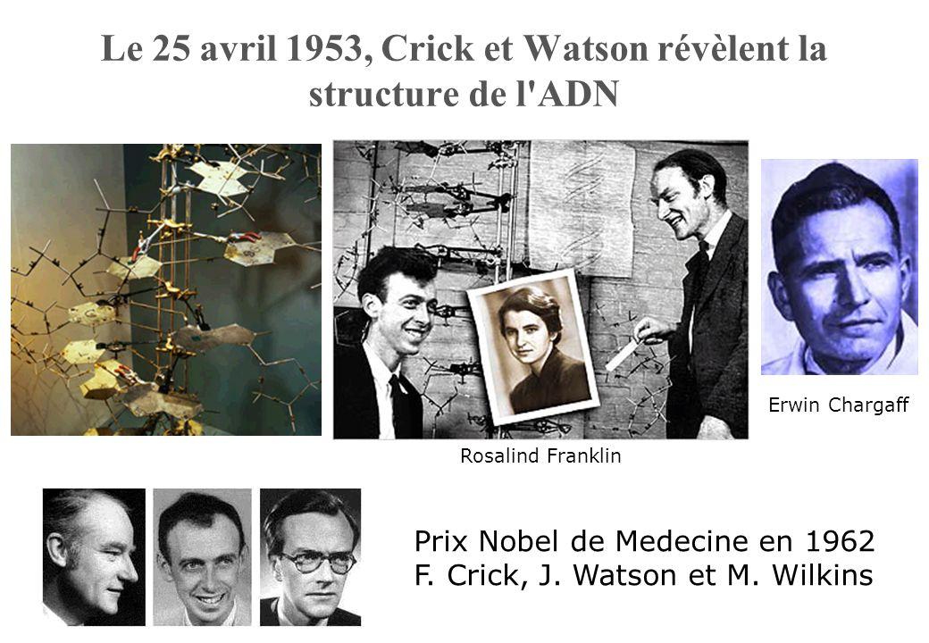 Le 25 avril 1953, Crick et Watson révèlent la structure de l ADN