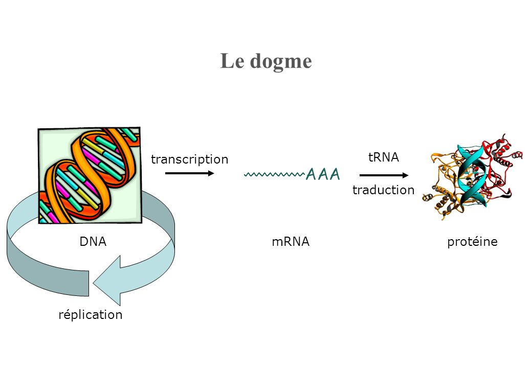 Le dogme transcription tRNA traduction DNA mRNA protéine réplication