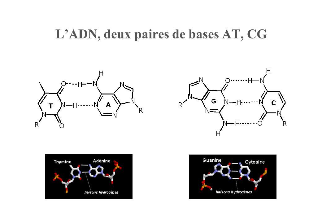 L'ADN, deux paires de bases AT, CG
