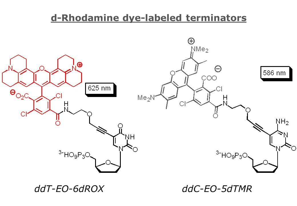 d-Rhodamine dye-labeled terminators