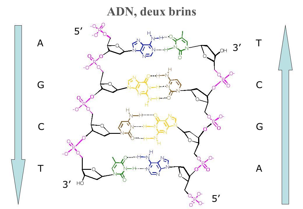 ADN, deux brins 3' 5' T C G A