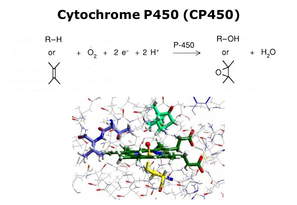 Cytochrome P450 (CP450)