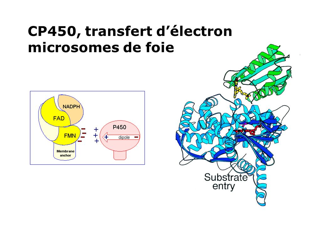 CP450, transfert d'électron microsomes de foie