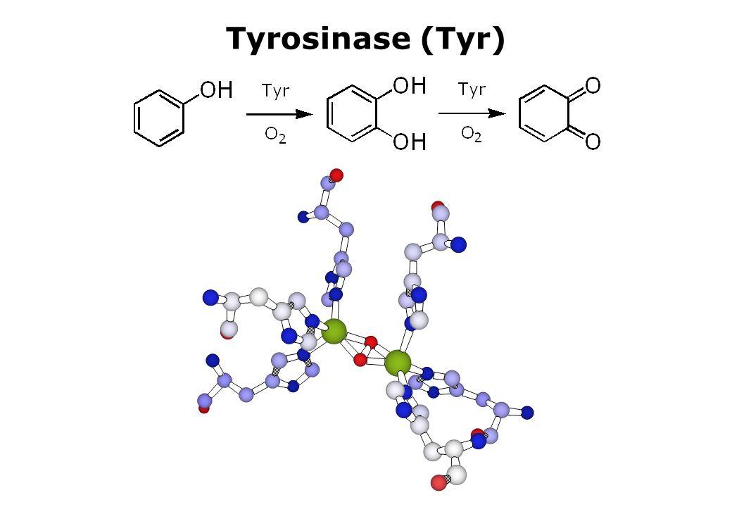 Tyrosinase (Tyr)