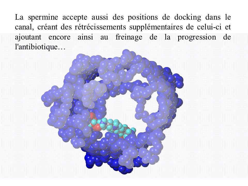 La spermine accepte aussi des positions de docking dans le canal, créant des rétrécissements supplémentaires de celui-ci et ajoutant encore ainsi au freinage de la progression de l antibiotique…