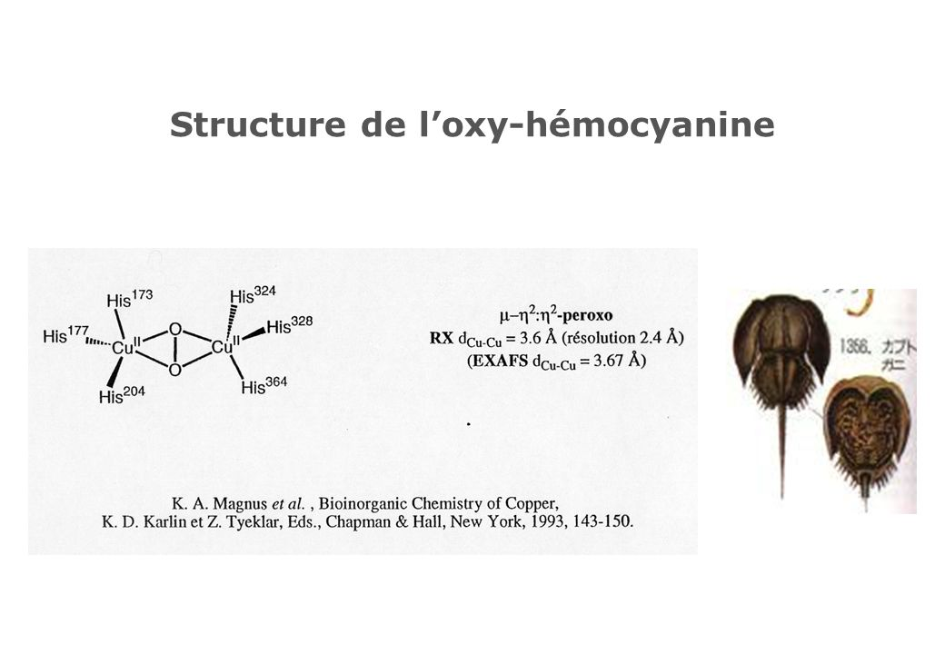 Structure de l'oxy-hémocyanine