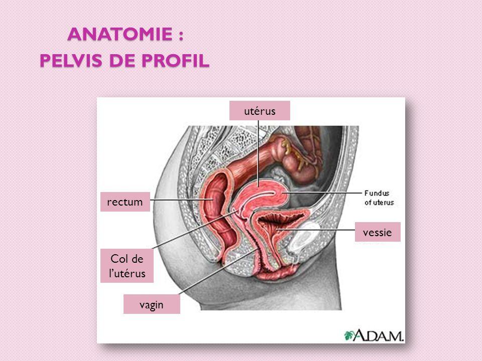 Anatomie : pelvis de profil