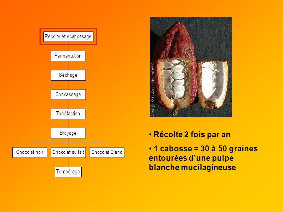 Récolte 2 fois par an 1 cabosse = 30 à 50 graines entourées d'une pulpe blanche mucilagineuse