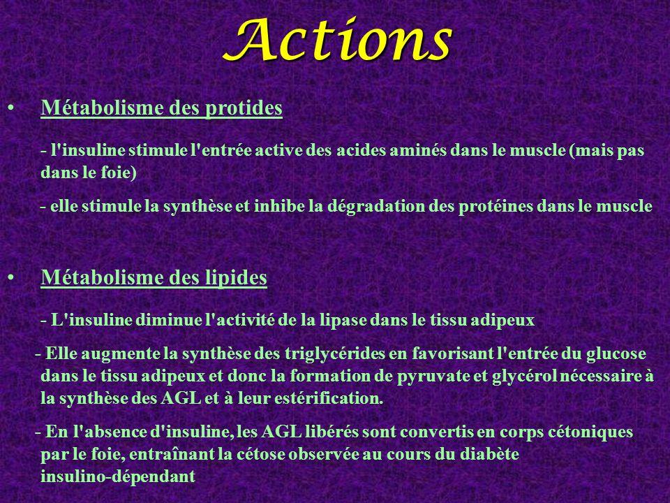 Actions Métabolisme des protides - l insuline stimule l entrée active des acides aminés dans le muscle (mais pas dans le foie)