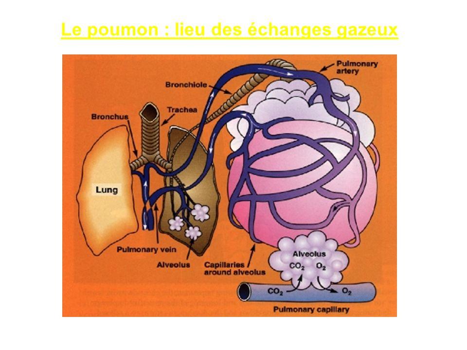 Le poumon : lieu des échanges gazeux