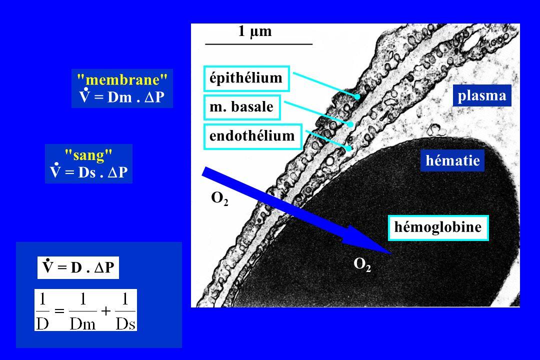 1 µm membrane V = Dm . DP. épithélium. plasma. m. basale. endothélium. sang V = Ds . DP.