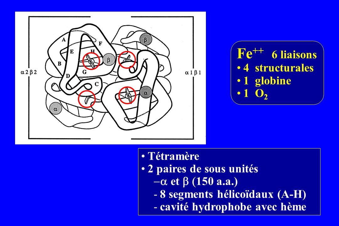 Fe++ 6 liaisons 4 structurales 1 globine 1 O2 Tétramère